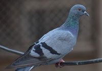 gray pigeon sits on a low hanging wire
