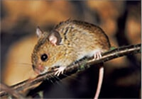 A small field mouse climbing a branch
