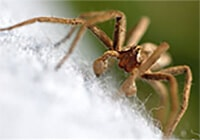 Close-up of a brown spider on a white cotton shirt