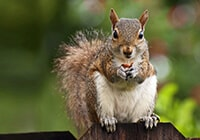 A squirrel holding an acorn while perched on a wooden fence